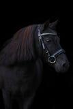 Czarny śliczny konika portret na czarnym tle Obrazy Stock