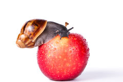 Czarny ślimaczek na czerwonym jabłku obraz royalty free