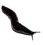 czarny ślimaki ślimak Zdjęcie Royalty Free