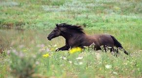 czarny śródpolnego cwału koński działający dziki Obraz Stock