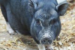 Czarny świniowaty odprowadzenie wokoło gospodarstwa rolnego Zdjęcia Royalty Free