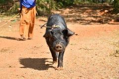 Czarny świniowaty spacer na drodze z właścicielem Zdjęcie Stock