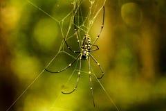 Czarny żółty pająk Obraz Stock