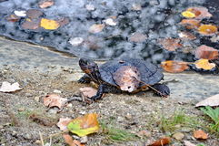 Czarny żółw Zdjęcia Royalty Free