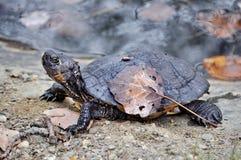 Czarny żółw Obrazy Stock