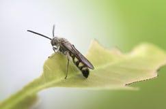 Czarny żołnierz komarnicy obsiadanie na foileage, bocznego widoku fotografii i zamazującym zielonym tle, Obraz Stock