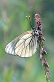 czarny żyłkowaty white Fotografia Royalty Free