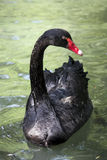 Czarny łabędź Fotografia Royalty Free