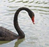 Czarny łabędź Zdjęcie Stock