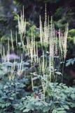 Czarny Actaea racemosa lub cohosh kwiaty zdjęcie stock
