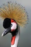 czarny afrykańska crane crown Zdjęcia Stock