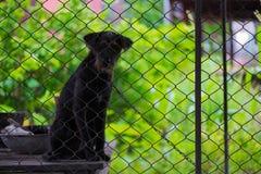 Czarny agresywny pies w klatce Zdjęcia Stock