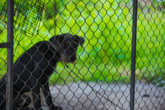 Czarny agresywny pies w klatce Obraz Royalty Free