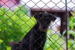 Czarny agresywny pies w klatce Zdjęcie Royalty Free