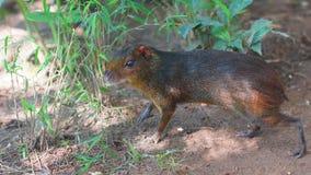 Czarny aguti w dżungli Błoń imiona: Guatusa o agutà negro Obraz Royalty Free