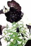 Czarny Aksamitna Petunia zdjęcia stock