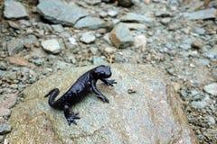 Czarny Alpejski jaszczur zdjęcia royalty free