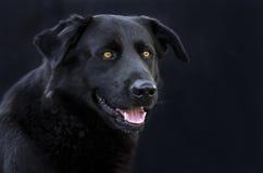 Czarny aporter mieszający trakenu pies z żółtymi oczami obraz royalty free