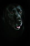 Czarny aporteru labrador zdjęcie royalty free