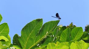 Czarny błękitny Dragonfly na zielonych liściach obrazy stock