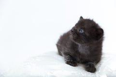 czarny błękitny kota oczy Fotografia Stock
