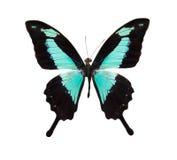 czarny błękitny motyli tropikalny Zdjęcie Royalty Free