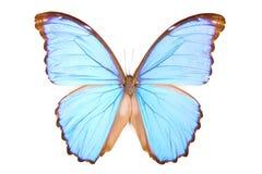 czarny błękitny motyliego didius odosobniony morpho fotografia stock