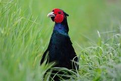 Czarny bażant chuje w długiej trawie Zdjęcie Royalty Free