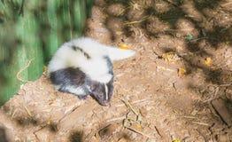 Czarny biały błonie paskował śmierdziela kłaść na ziemi w piasek przyrody zwierzęcia zaśmierdłym ślicznym portrecie zdjęcia stock