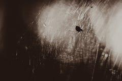 Czarny biały fotografia pająk siedzi na pajęczyny zakończeniu fotografia royalty free