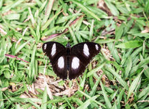 Czarny biały motyl od ceregiele Ekiti Nigeria Obrazy Royalty Free