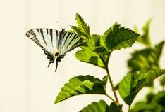 Czarny biały motyl w dzikim Fotografia Stock