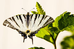 Czarny biały motyl w dzikim Obrazy Stock