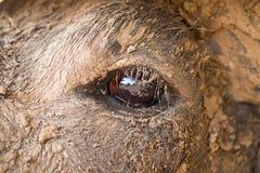 Czarny bizon cieli się na gospodarstwie rolnym Obraz Stock