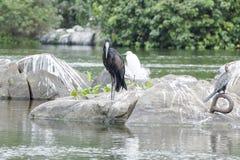 Czarny bocian rzeczny Nil - Openbill Afrykański Bocian - Zdjęcia Royalty Free