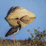 Czarny bocian w Kruger parku narodowym, Południowa Afryka Obraz Stock