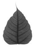 Czarny bodhi liść odizolowywający Zdjęcia Royalty Free