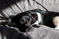 Czarny Brazylijski teriera pies śpi cicho przy zmierzchem z promieniami słońca bicie na jego twarzy na kanapie obraz royalty free