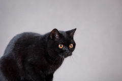 czarny brytyjski kot Obrazy Stock