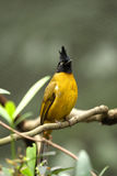 czarny bulbul czubaty żółty Fotografia Stock