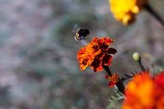 Czarny bumblebee lata kwiatostanem karmazynki w ogródzie botanicznym Kwiat jest bardzo jaskrawy i bogaty Pollinat fotografia royalty free