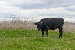 Czarny byk na uradowanym Obraz Royalty Free