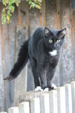 Czarny cat/Fillimon zdjęcia stock