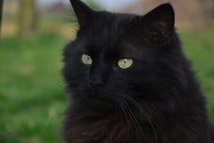 Czarny Chantilly kot muska coś Zdjęcie Stock