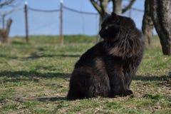 Czarny Chantilly kot siedzi w ogródzie Obrazy Stock