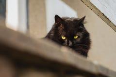 Czarny Chantilly Tiffany kot patrzeje w d?? i pozuje kamera na balkonie w du?ej wysoko?ci Ciemny tomcat z du?ym i ? obrazy stock