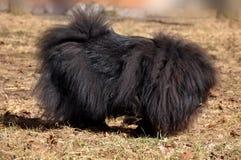 Czarny Chow Chow pies obraz stock