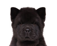 Czarny chow szczeniak Obraz Royalty Free