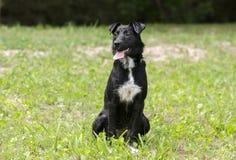 Czarny Collie mieszający trakenu dyszeć psi jęzor siedzi Obraz Stock