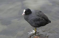 Czarny coot z biel głową jeziorem Zdjęcie Royalty Free
